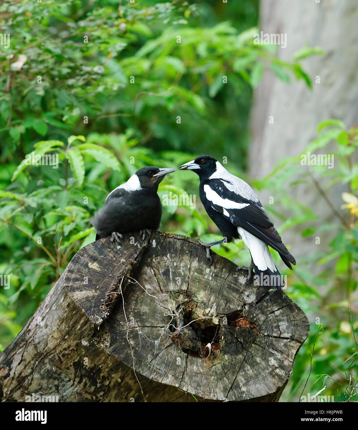 immature-australian-magpie-cracticus-tib