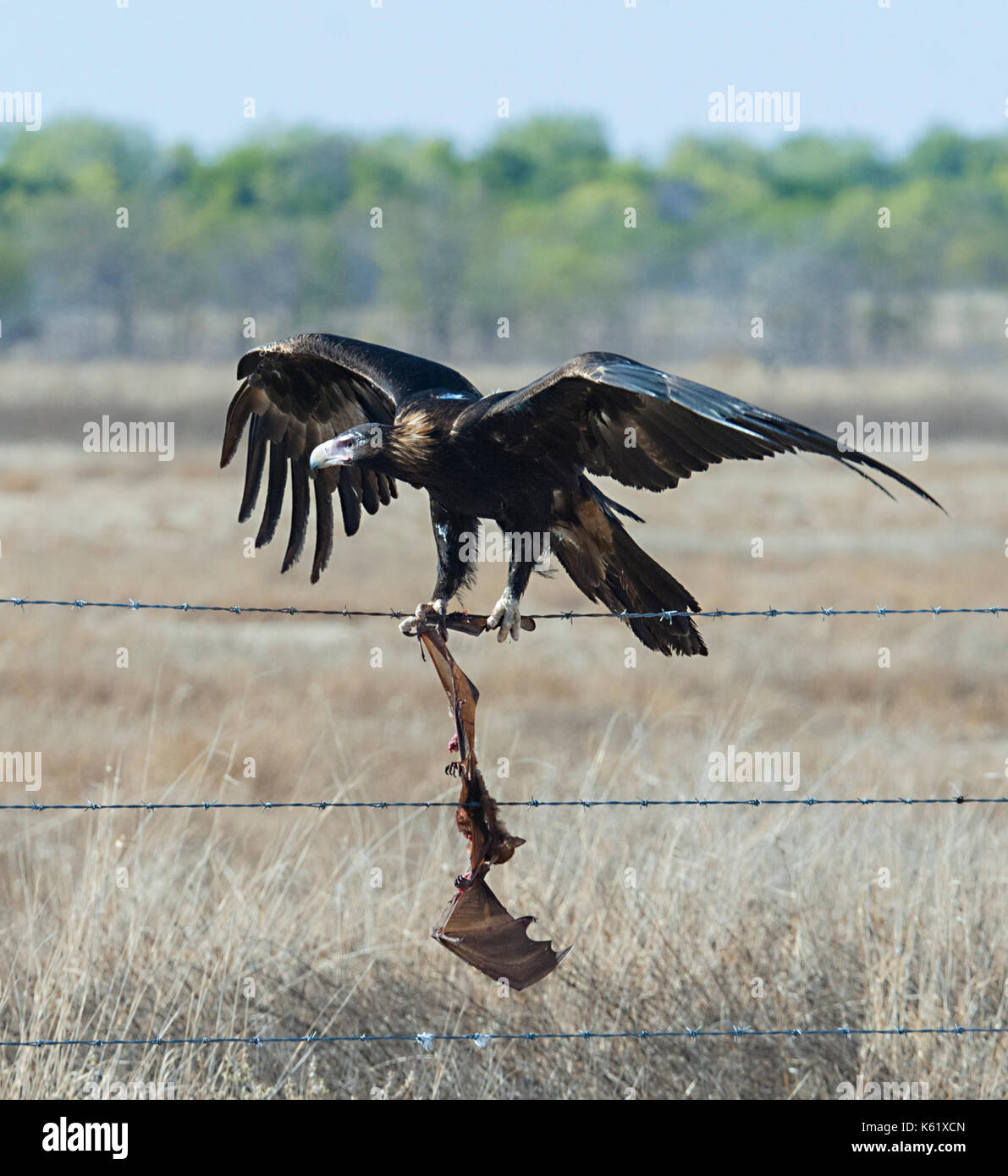 wedge-tailed-eagle-aquila-audax-with-a-d