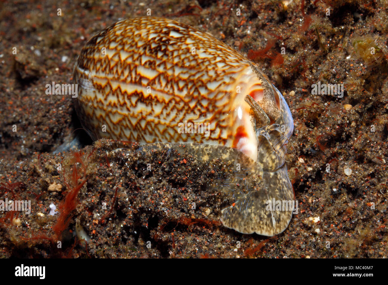 blood-olive-shell-oliva-reticulata-showi