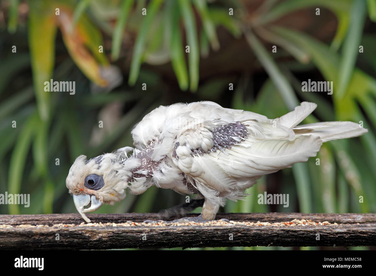 little-corella-cacatua-sanguinea-with-an
