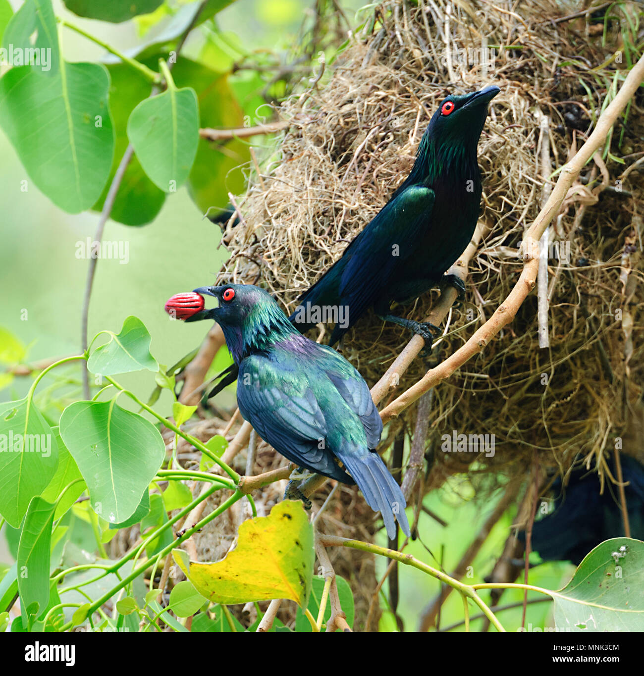 a-pair-of-metallic-starlings-or-shining-