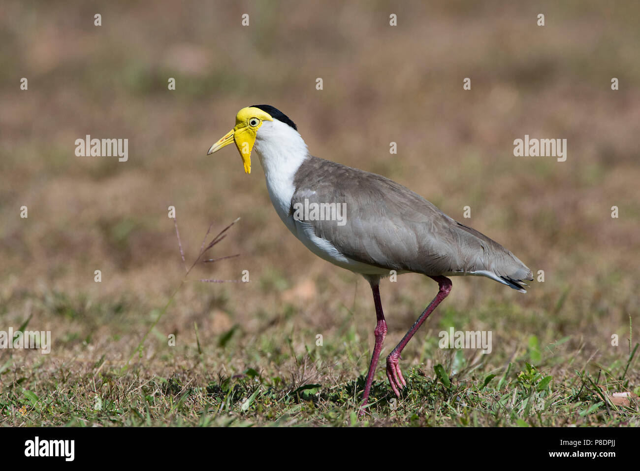 masked-lapwing-vanellus-miles-cape-york-