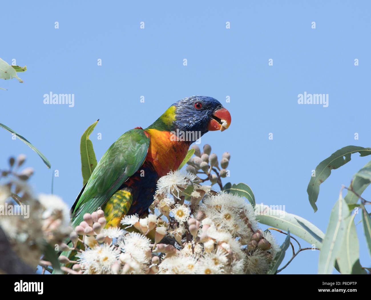 rainbow-lorikeet-feeding-trichoglossus-h