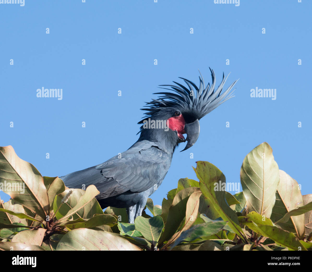 portrait-of-a-palm-cockatoo-probosciger-