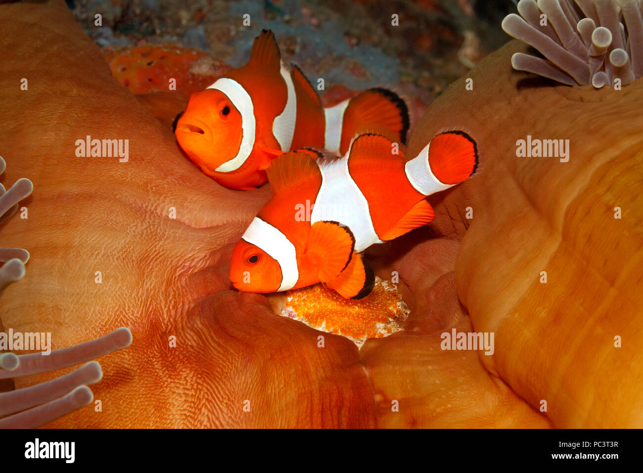 pair-of-clown-anemonefish-amphiprion-percula-tending-eggs-laid-at-base-of-the-host-magnificent-anemone-heteractis-magnifica-tulamben-bali-PC3T3R.jpg