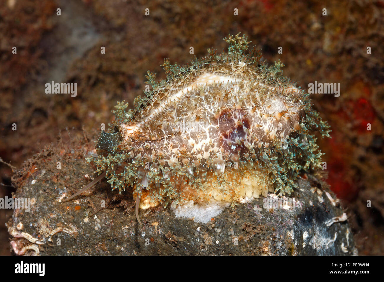 miliaris-cowry-or-miliaris-cowrie-naria-miliaris-sitting-on-eggs-previously-described-as-cypraea-miliaris-tulamben-bali-indonesia-bali-sea-PEBWH4.jpg