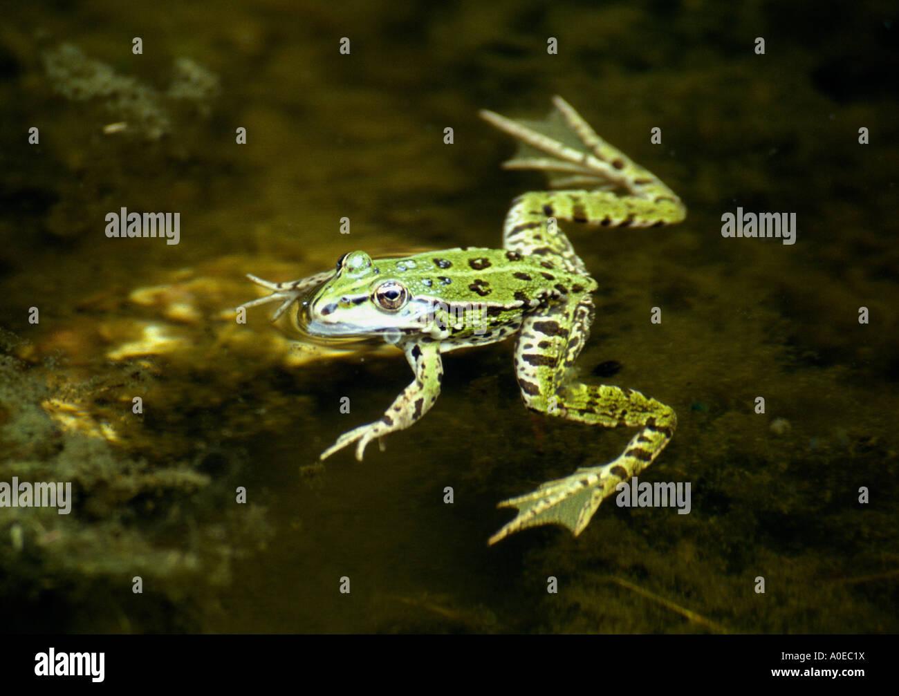 pool-frog-rana-lessonae-A0EC1X.jpg