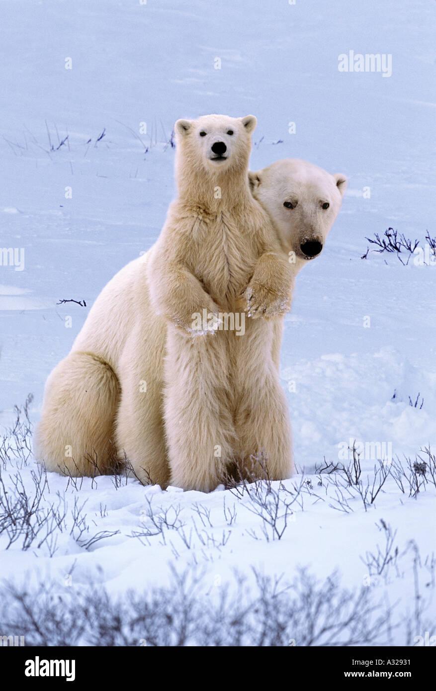 polar-bear-mother-and-cub-cape-churchill