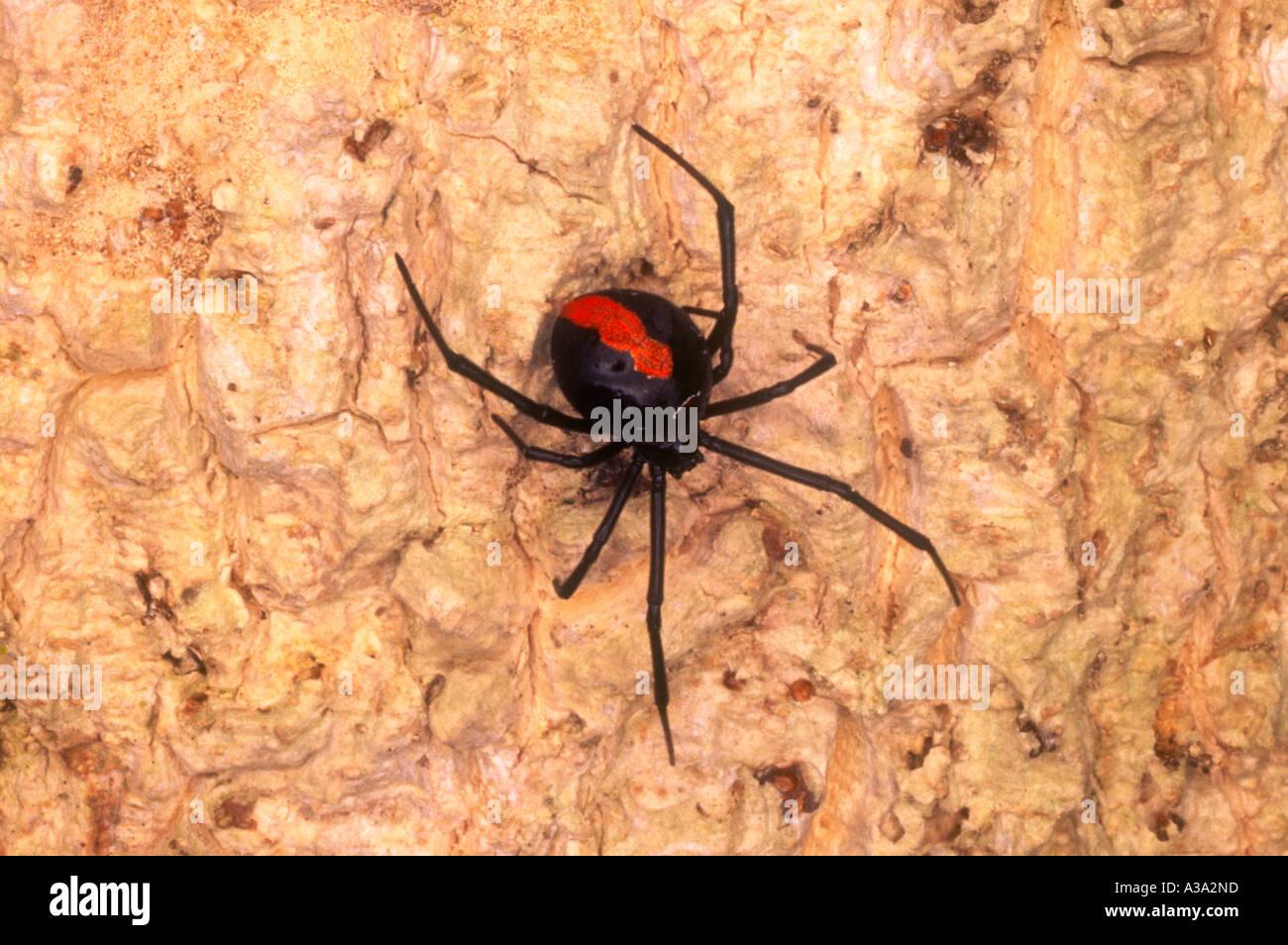 a-venomous-female-redback-spider-latrode