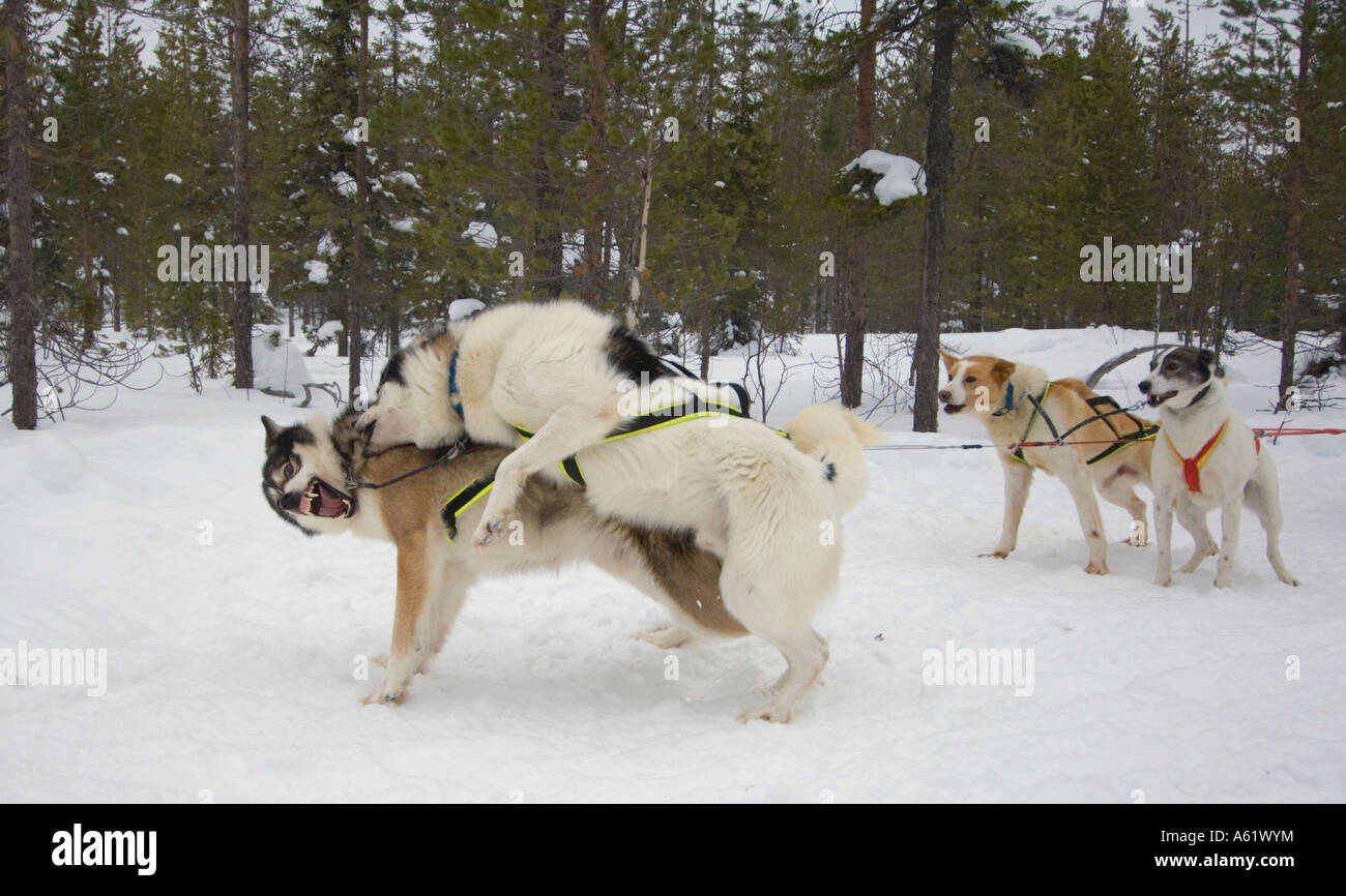 huskies-play-fighting-luosto-lapland-nor