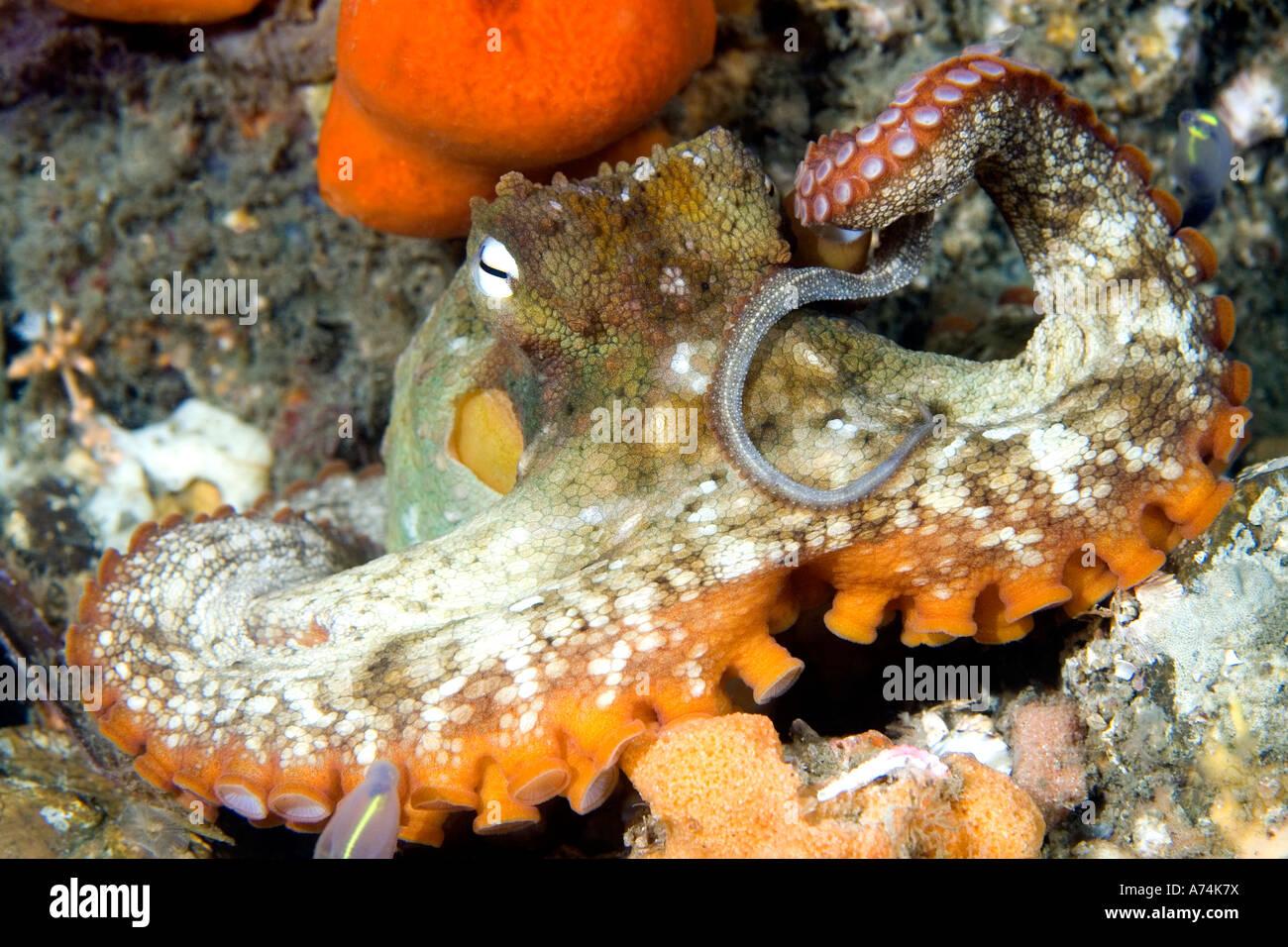 common-sydney-octopus-octopus-tetricus-s