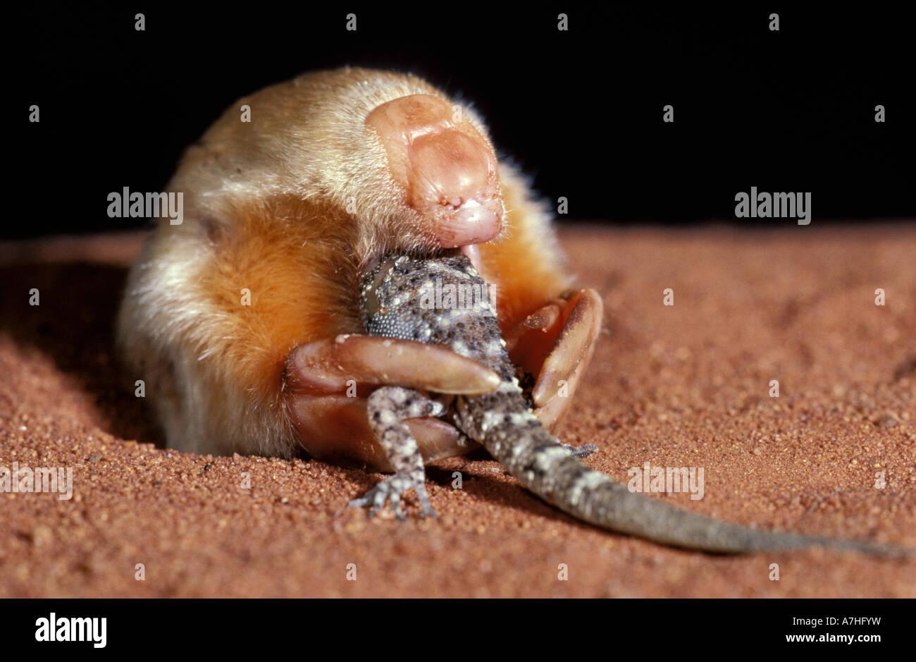 marsupial-mole-notoryctes-typhlops-eatin
