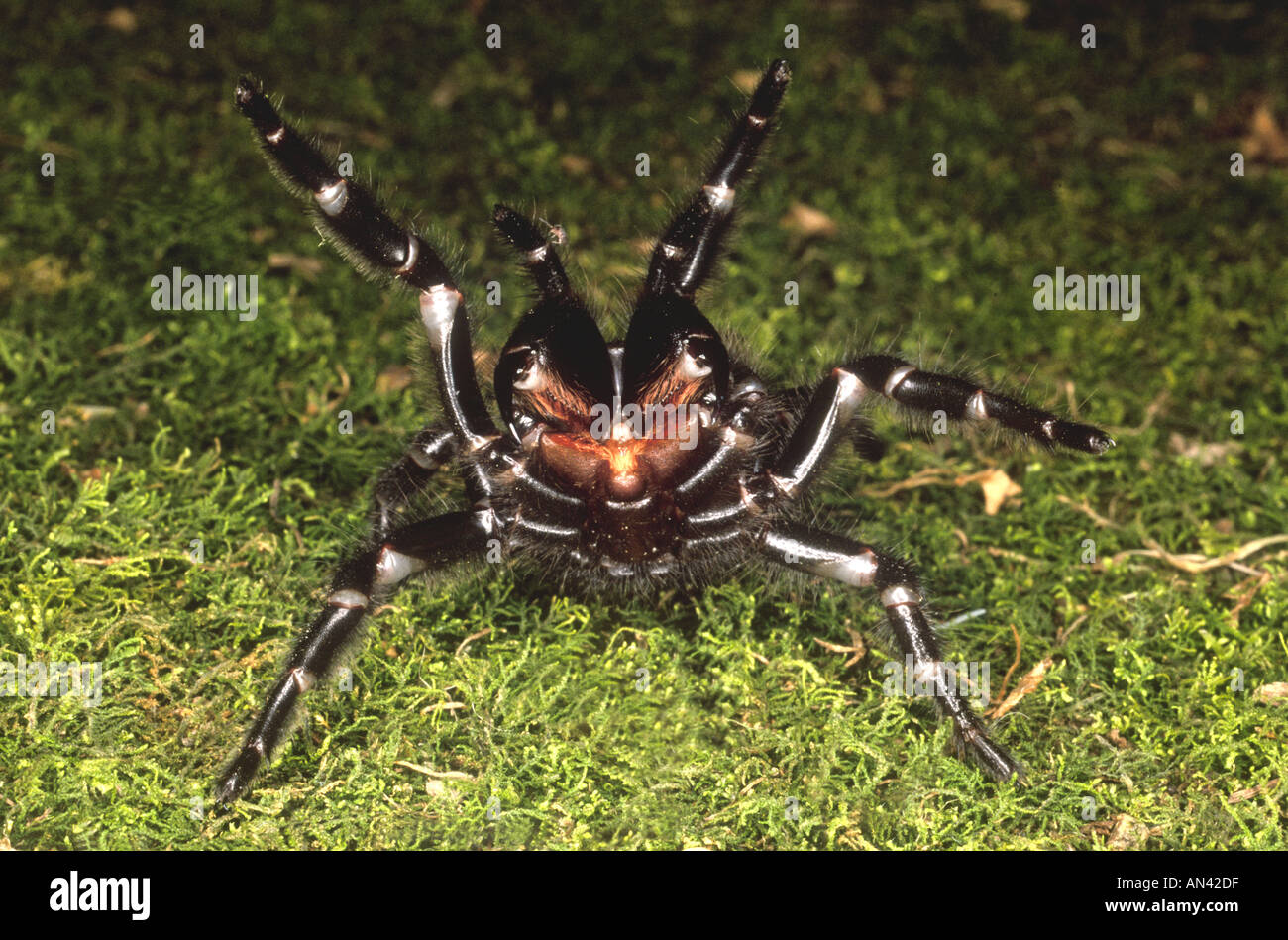 sydney-funnel-web-spider-atrax-robustus-