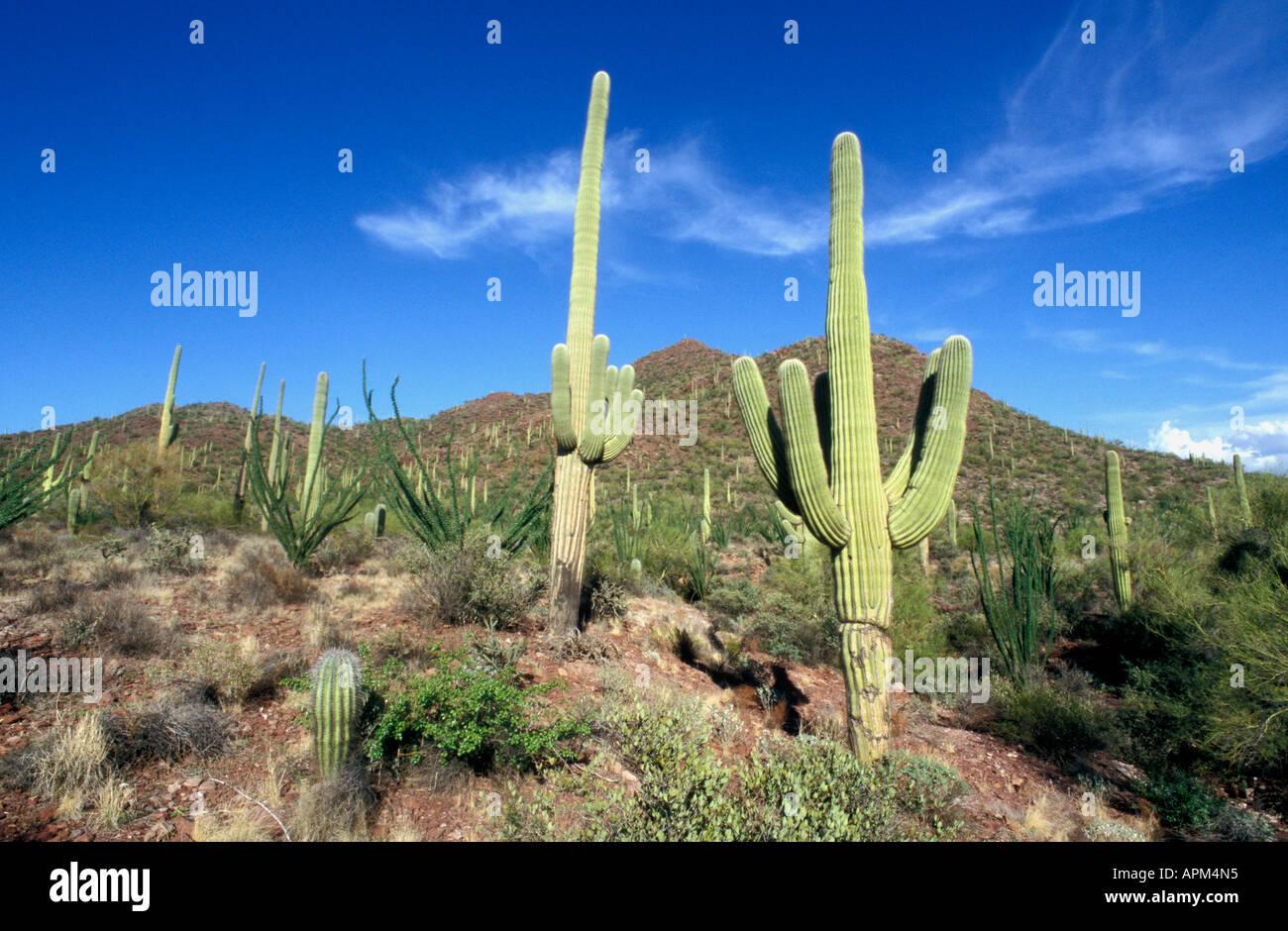 sonora-desert-south-west-arizona-usa-sag