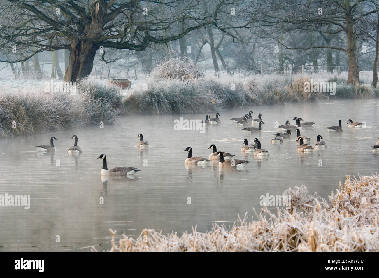 canada-geese-in-winter-branta-canadensis