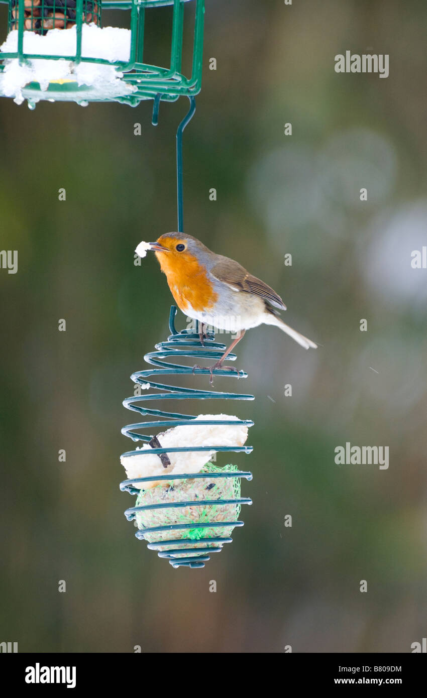 robin-erithacus-rubecula-on-a-bird-feede