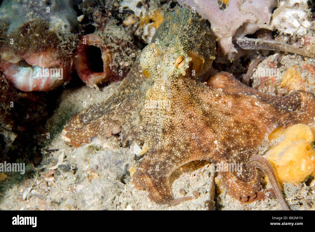 sydney-octopus-or-gloomy-octopus-octopus