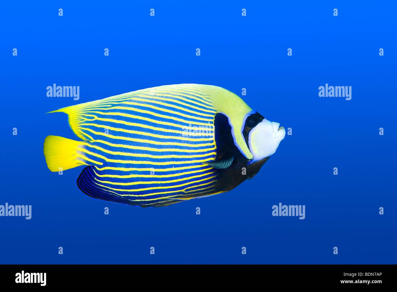 an-emperor-angelfish-pomacanthus-imperat