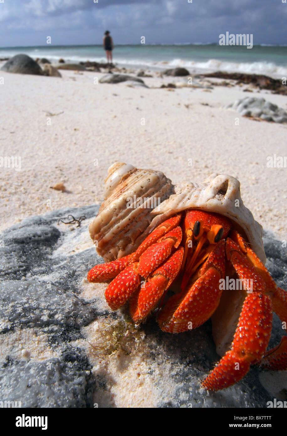 Hermit crab (Coenobita sp.) on the beach of West Island, Cocos Keeling, Indian Ocean Stock Photo