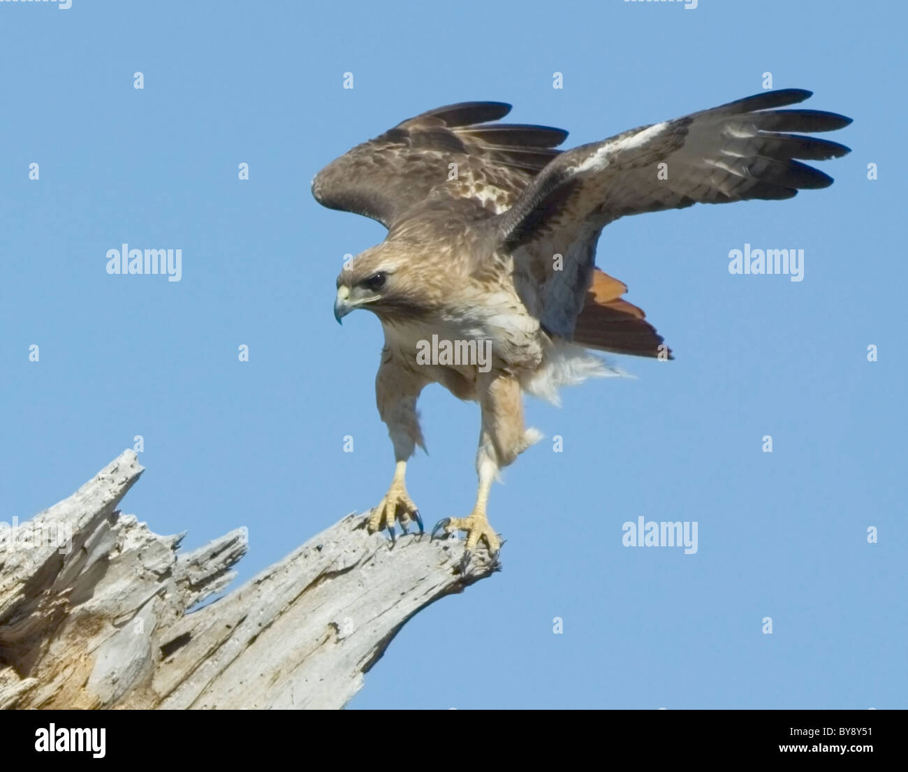 red-tailed-hawk-buteo-jamaicensis-arizon
