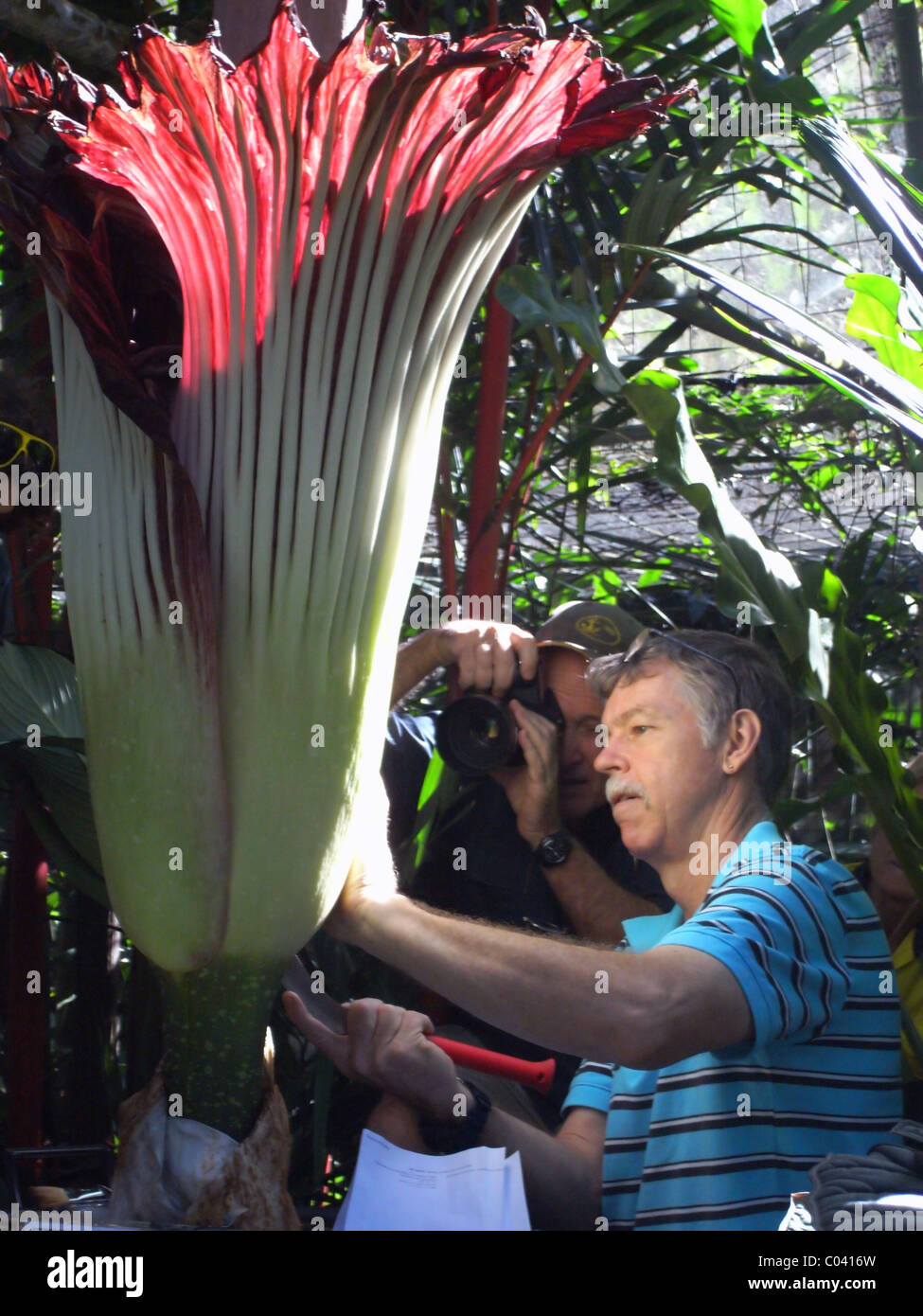 Botanist taking pollen sample from flowering titan arum (Amorphophallus titanum), the world's largest inflorescence Stock Photo