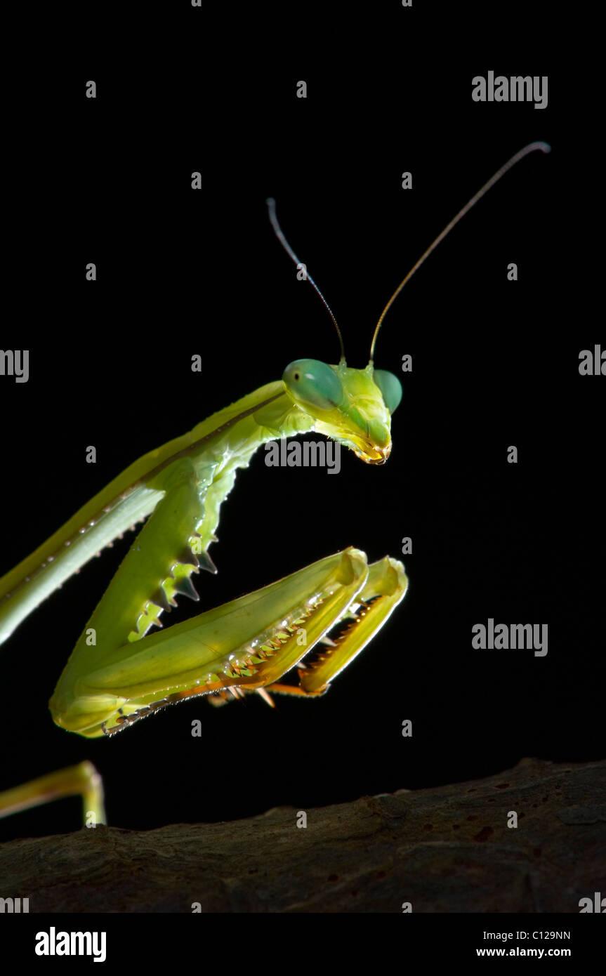 praying-mantis-stagmomantis-theophila-sh