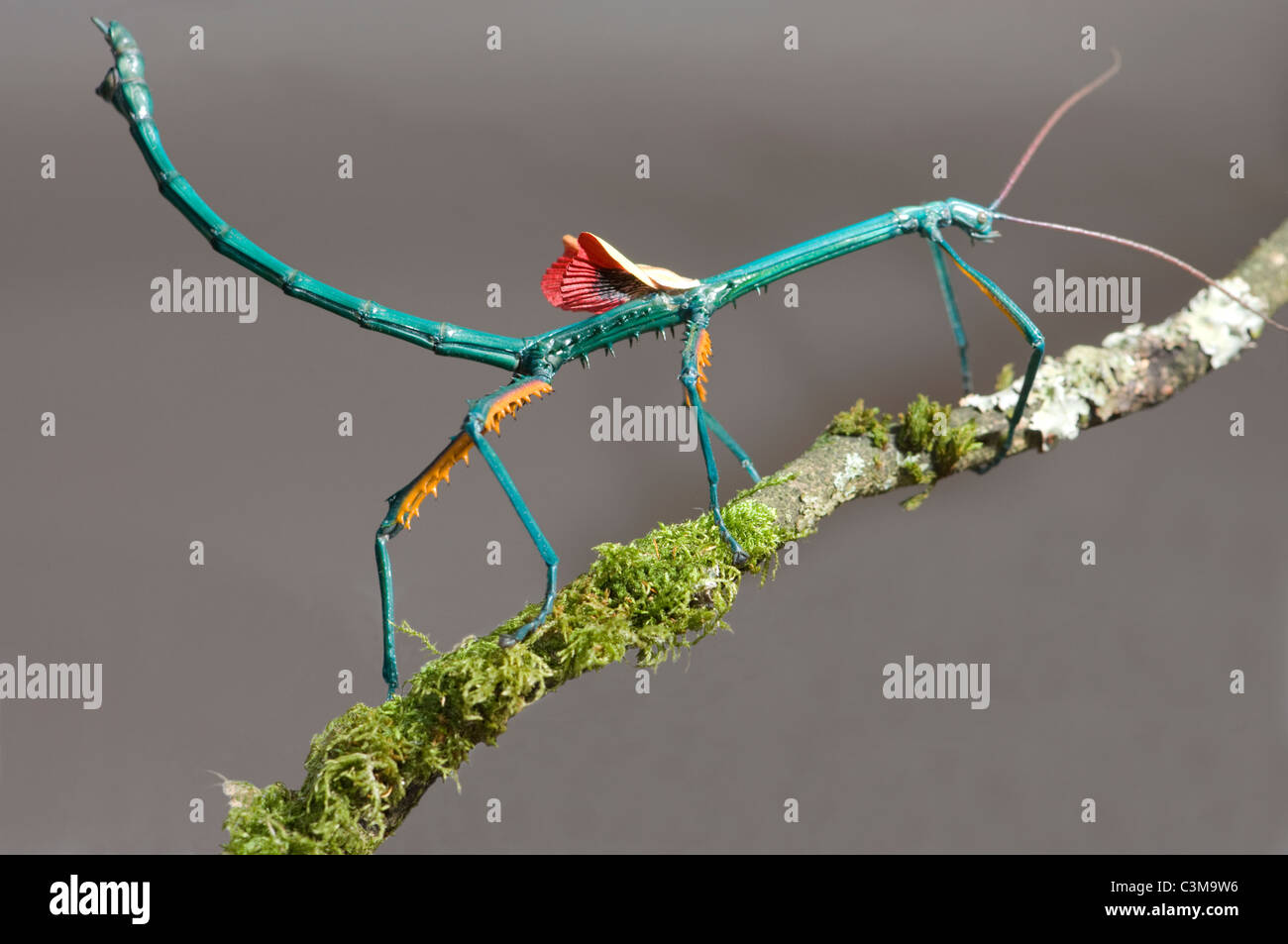 male-stick-insect-achriopetra-fallax-in-