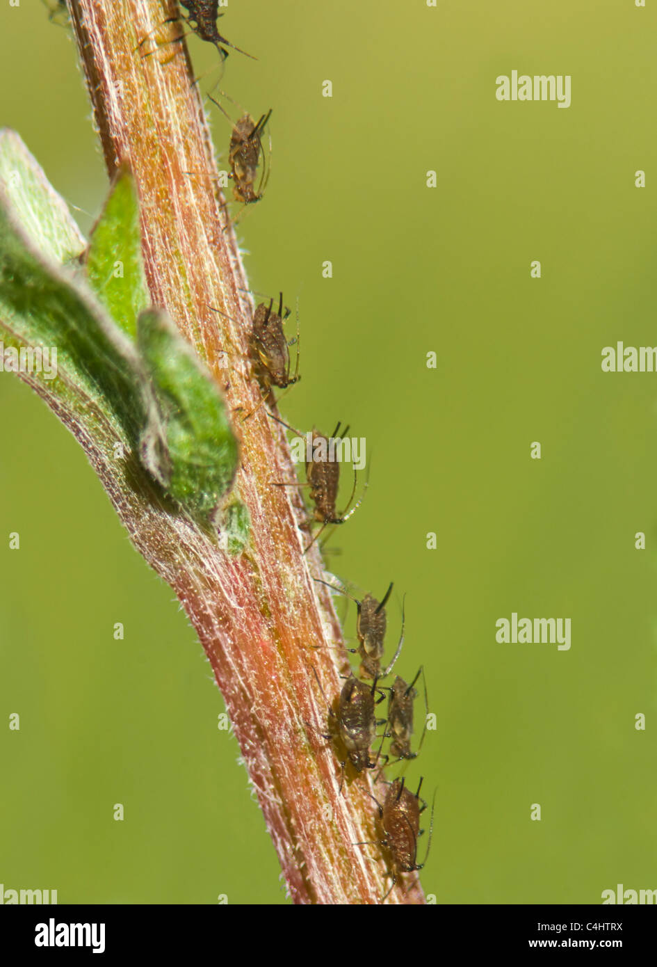 common-nettle-aphids-microlophium-carnos
