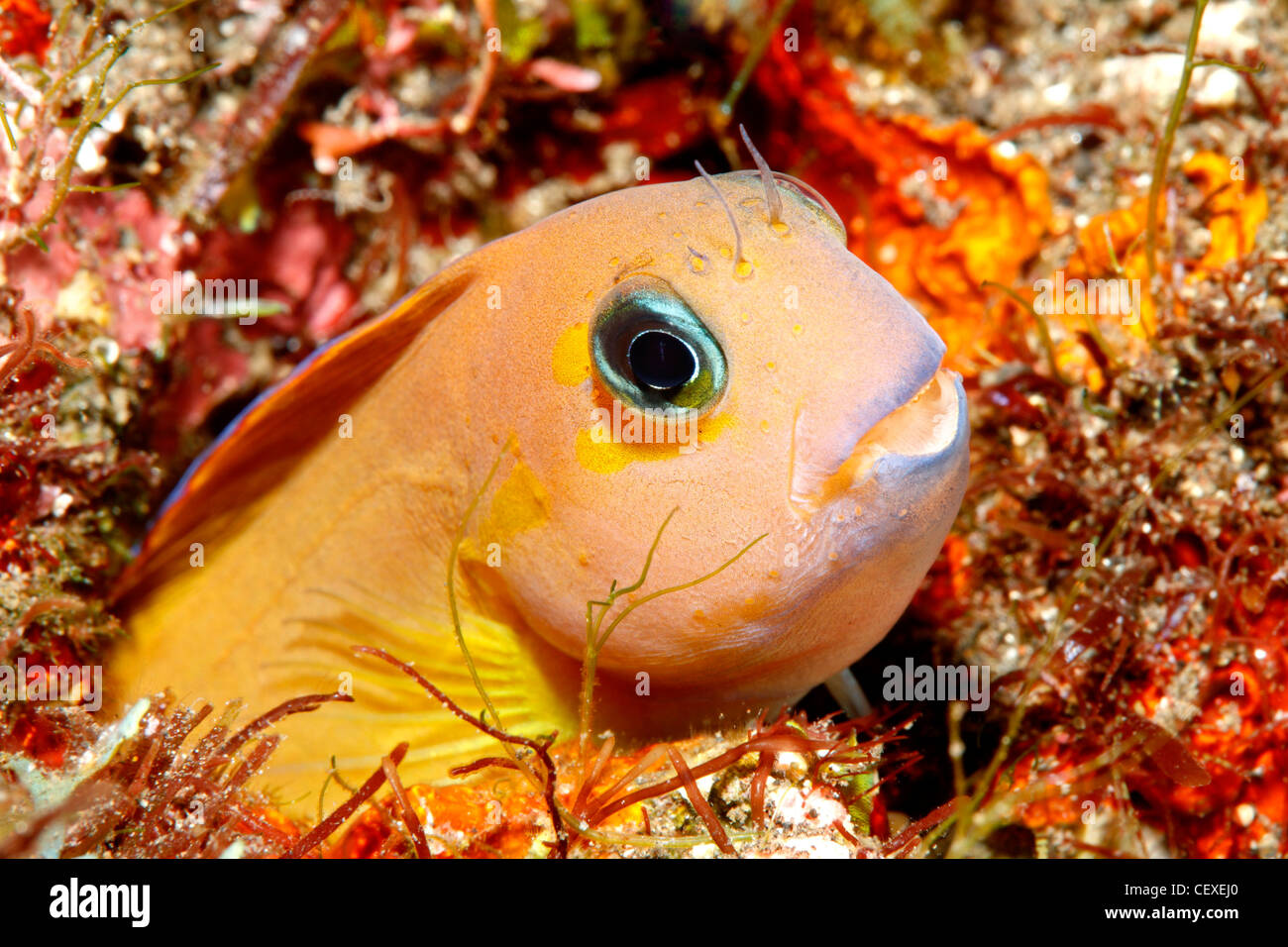 midas-blenny-golden-blenny-or-lyretail-b