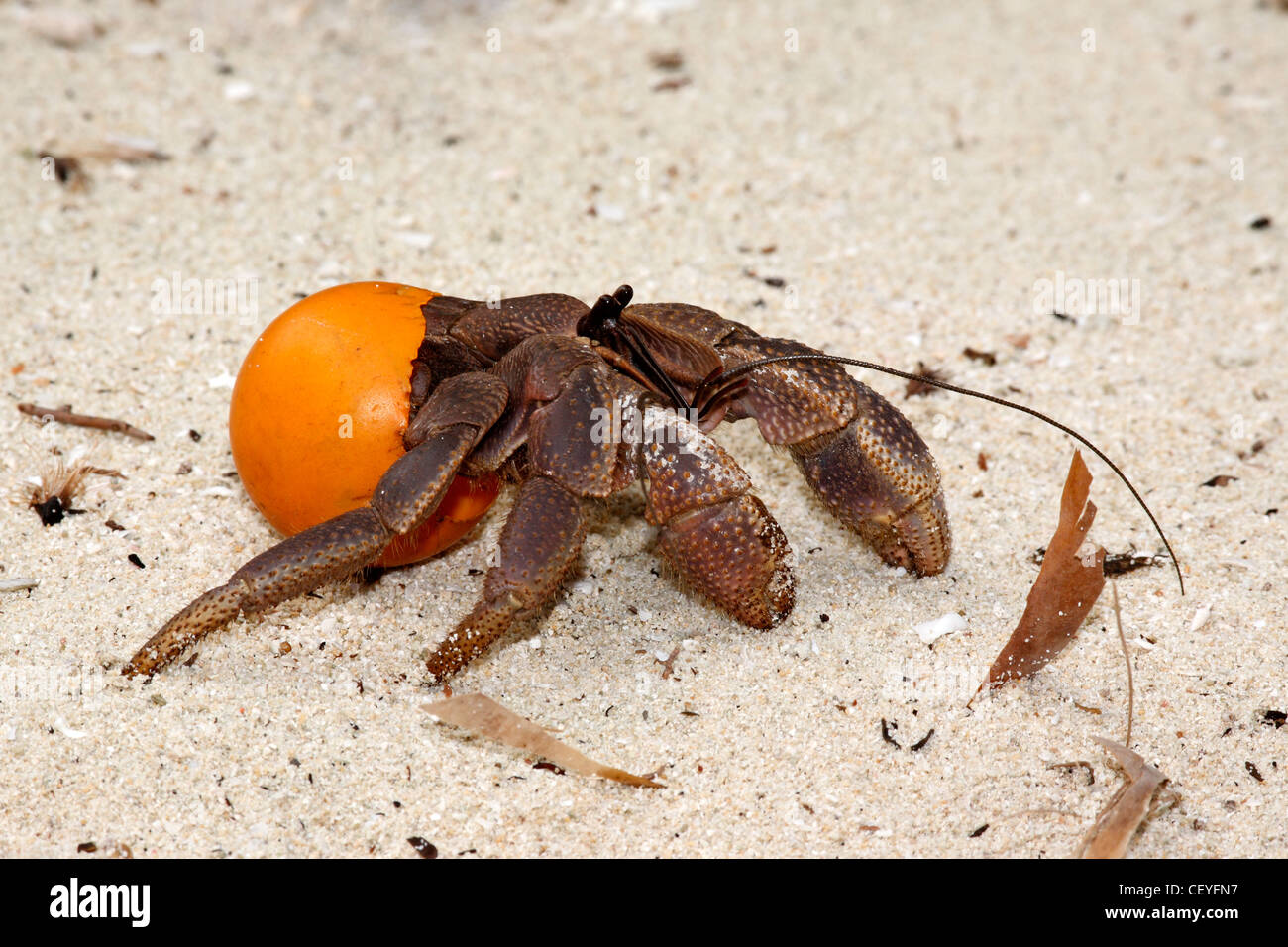 this-hermit-crab-coenobita-is-using-an-o