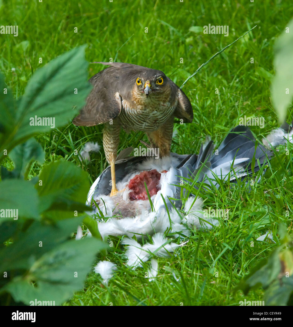 sparrowhawk-accipiter-nisus-with-a-pigeo