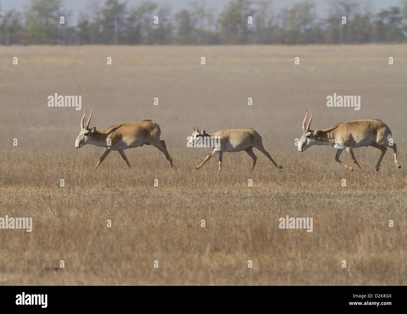 saiga-running-through-the-autumn-steppe-