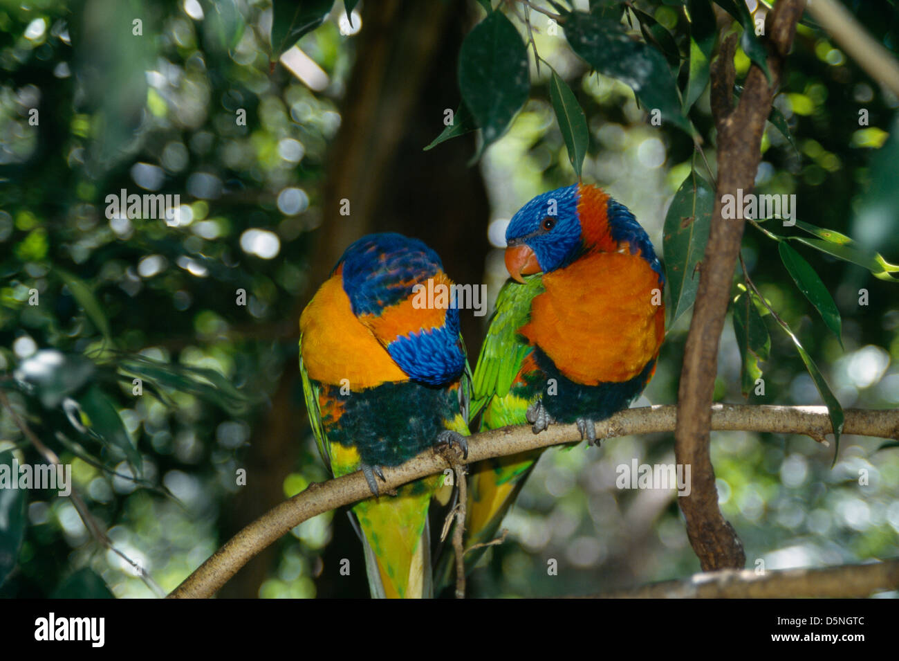 red-collared-lorikeets-australia-D5NGTC.
