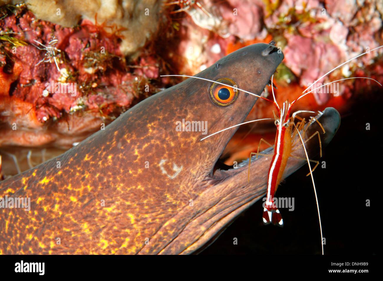 yellowmargin-yellow-margined-moray-eel-g
