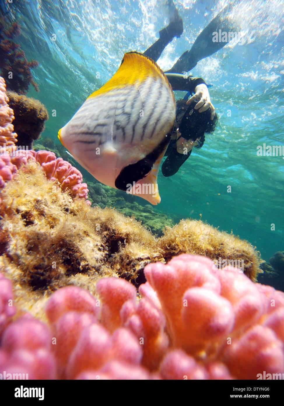 Snorkeller photographing butterflyfish, Little Salmon Bay, Rottnest Island, Western Australia. No MR Stock Photo
