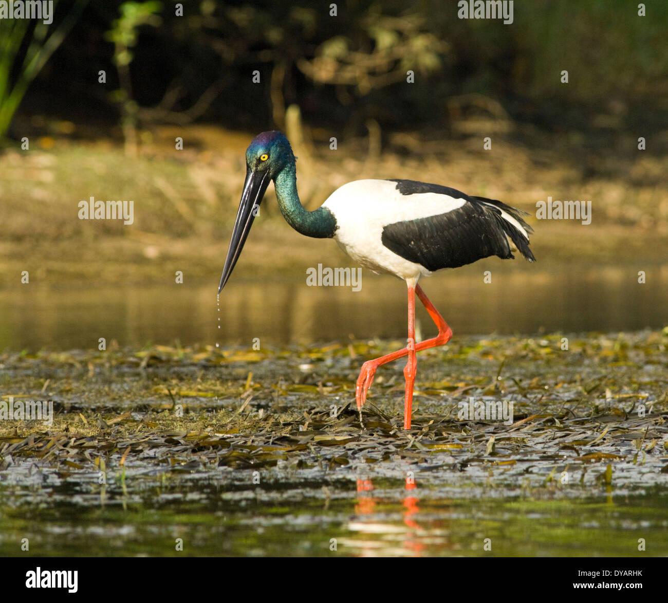 black-necked-stork-jabiru-ephippiorhynch