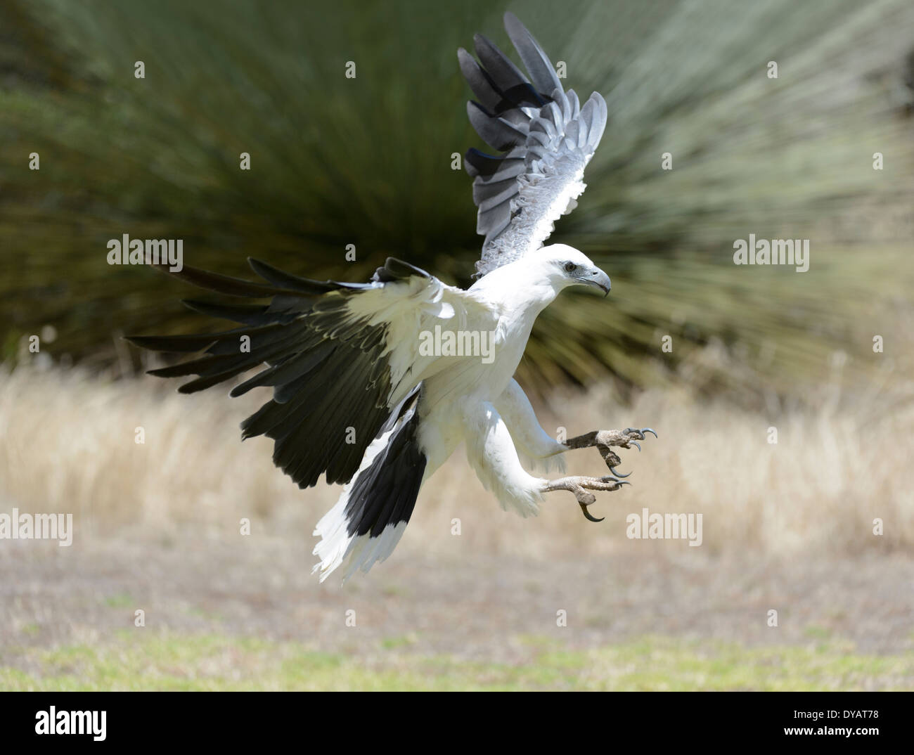 white-bellied-sea-eagle-haliaeetus-leuco