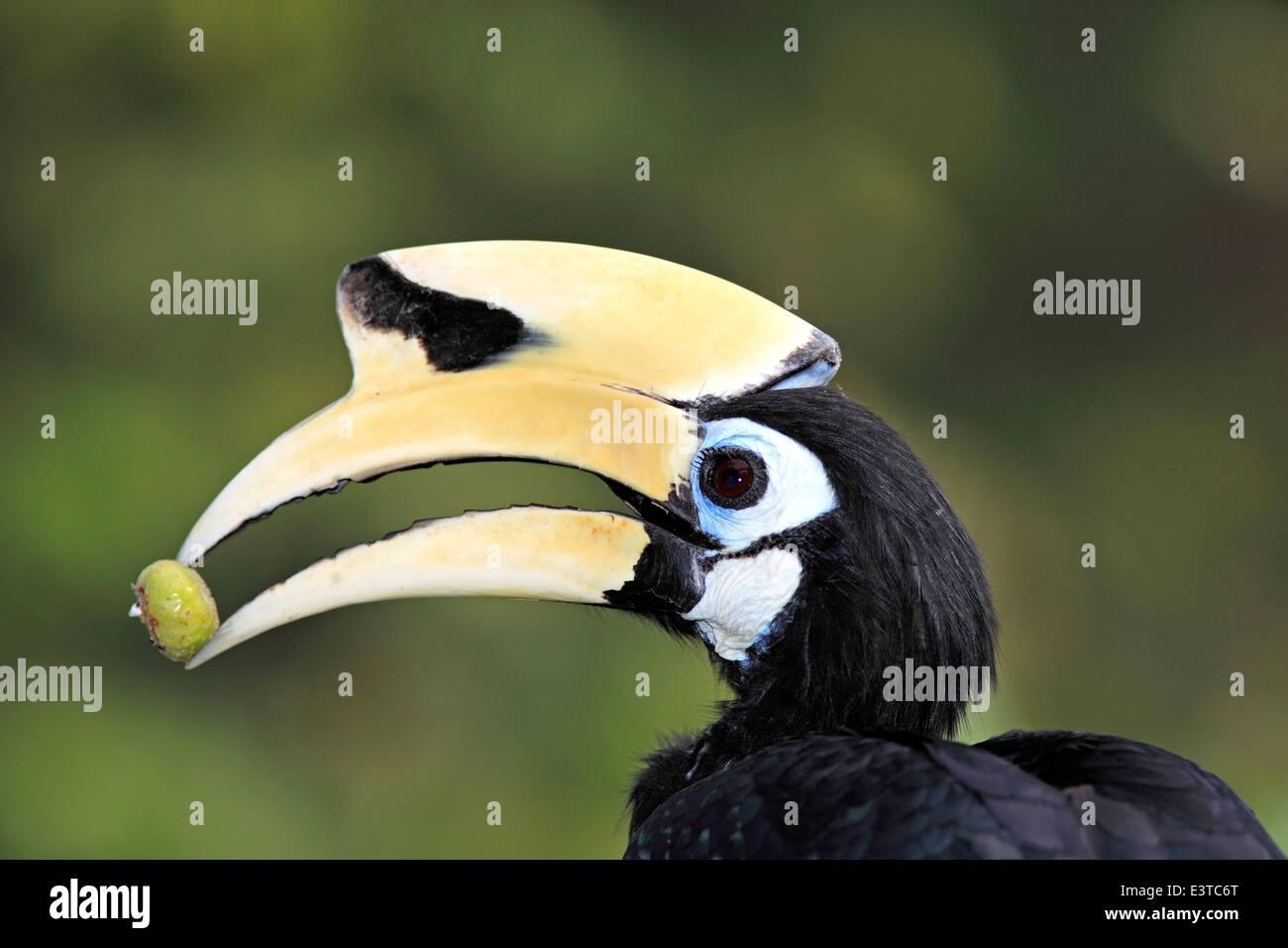 oriental-pied-hornbill-anthracoceros-alb