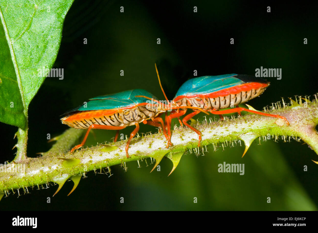 red-legged-stink-bugs-edessa-rutomargina