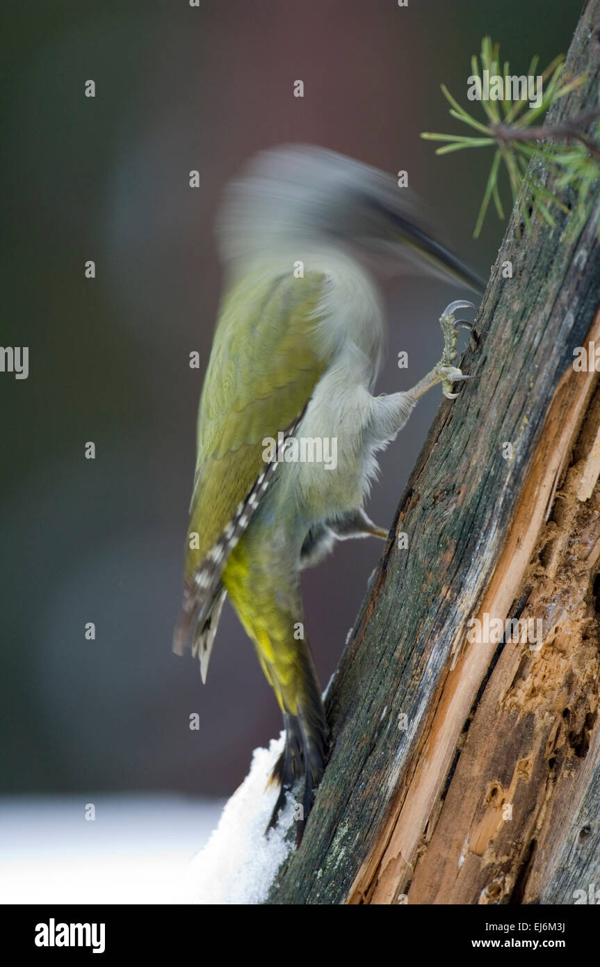 female-grey-faced-woodpecker-picus-canus