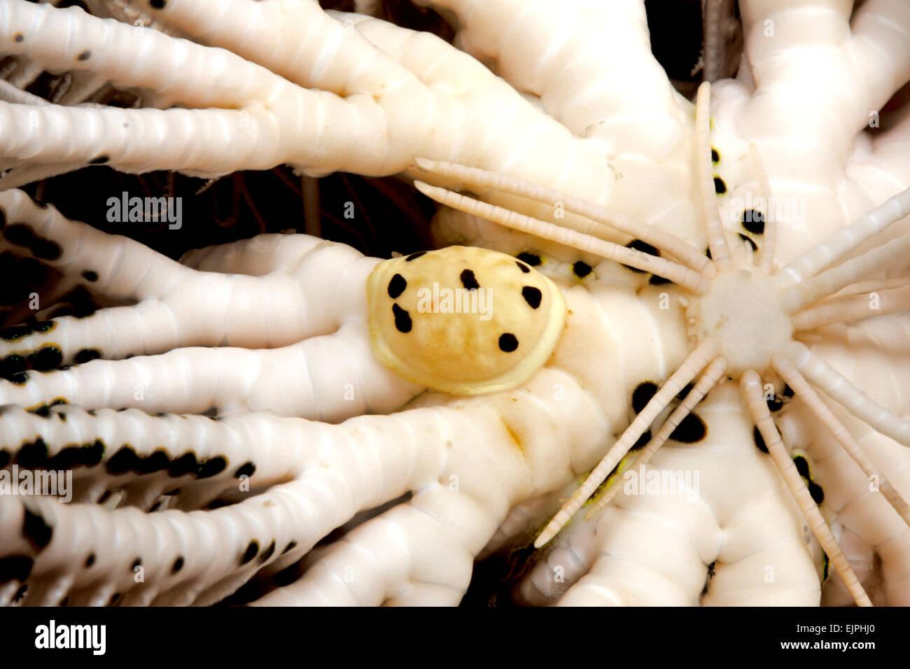 myzostomida-worm-a-small-marine-polychae