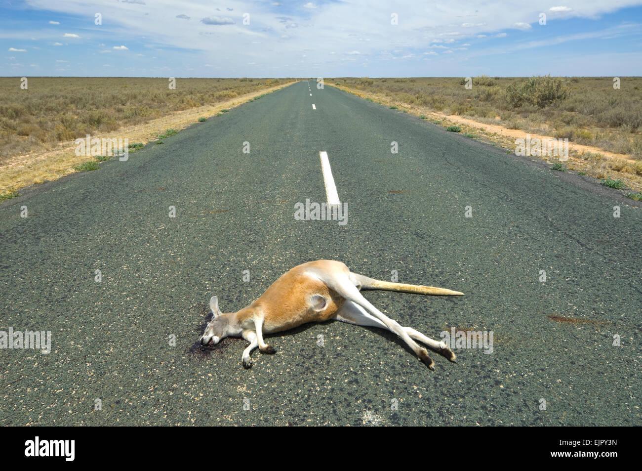 red-kangaroo-macropus-rufus-roadkill-mun