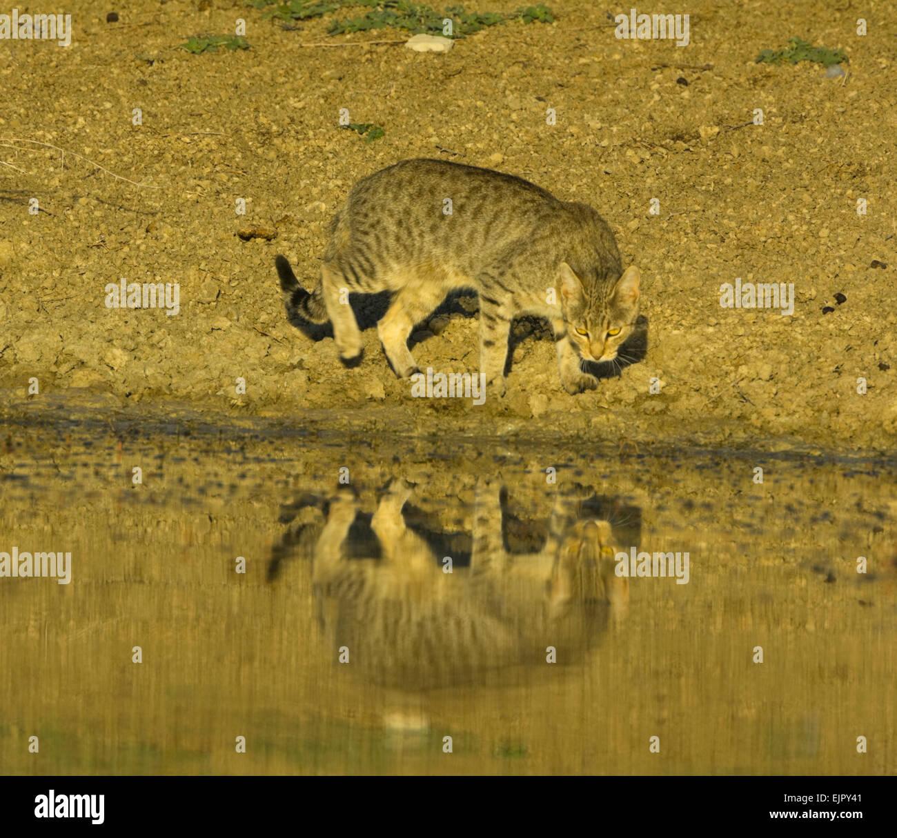 feral-cat-wild-cat-felis-catus-coming-to