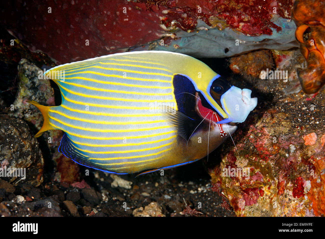 an-emperor-angelfish-pomacanthus-imperat