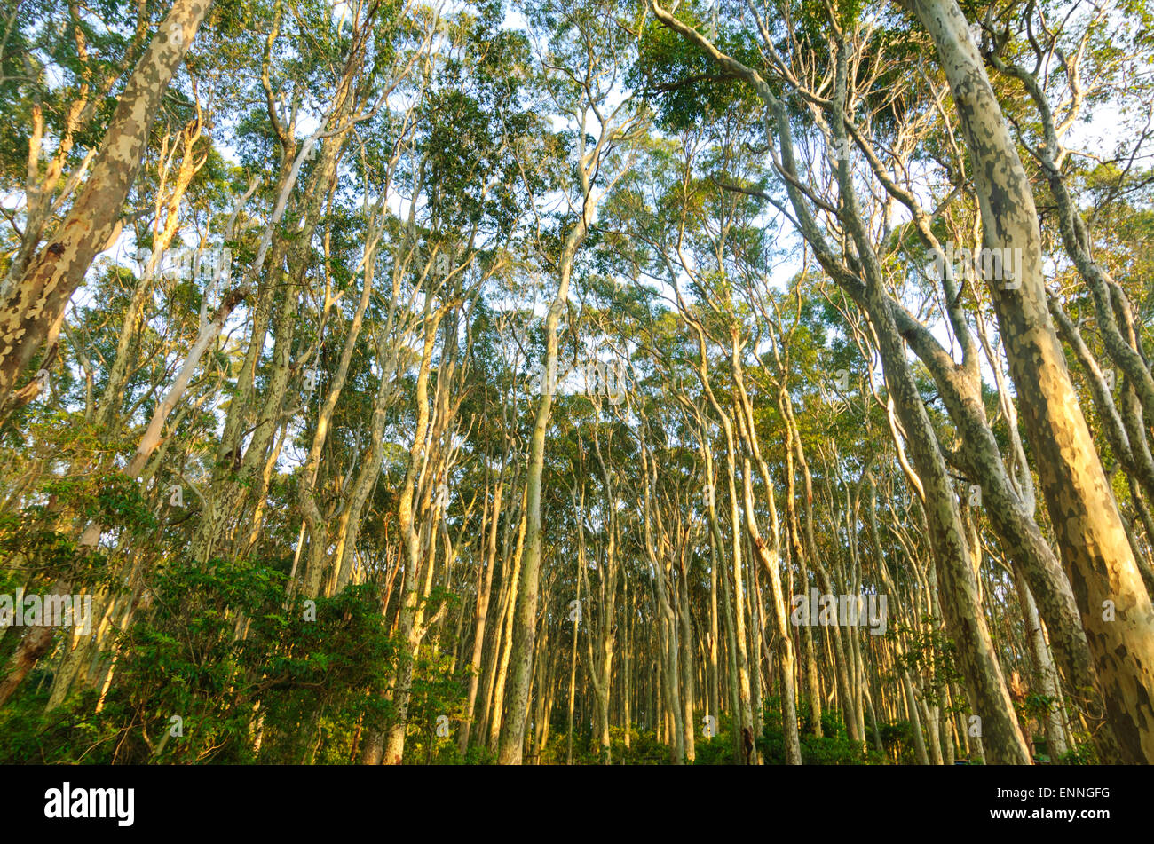 spotted-gum-trees-corymbia-maculata-euro