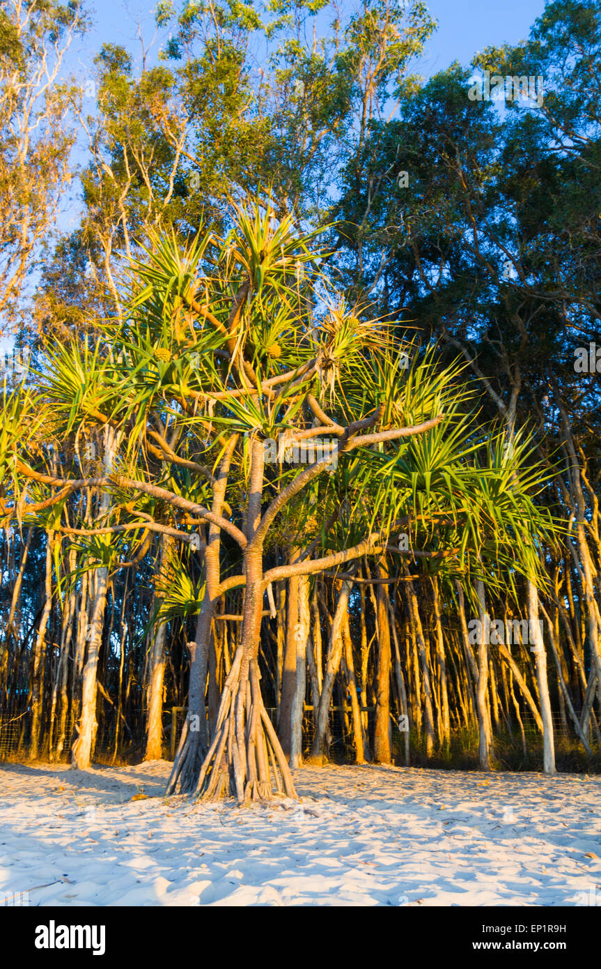 pandanus-tree-in-the-evening-light-frase