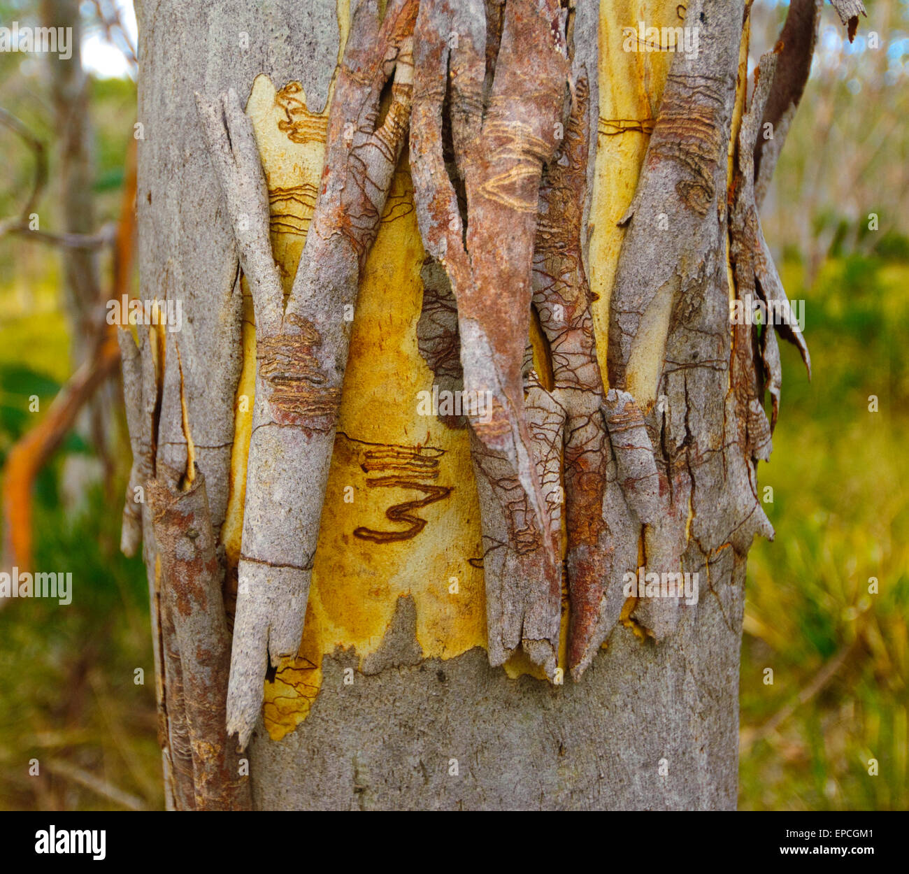 scribbly-gum-eucalyptus-racemosa-barring