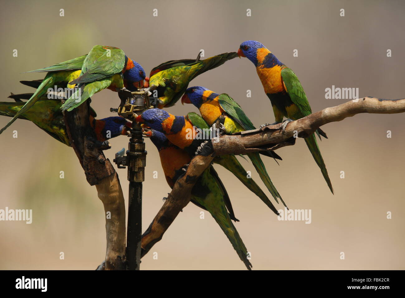 eight-red-collared-lorikeets-trichogloss