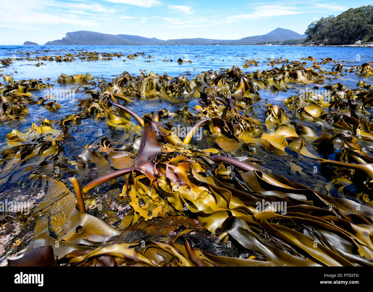kelp-seaweeds-adventure-bay-bruny-island