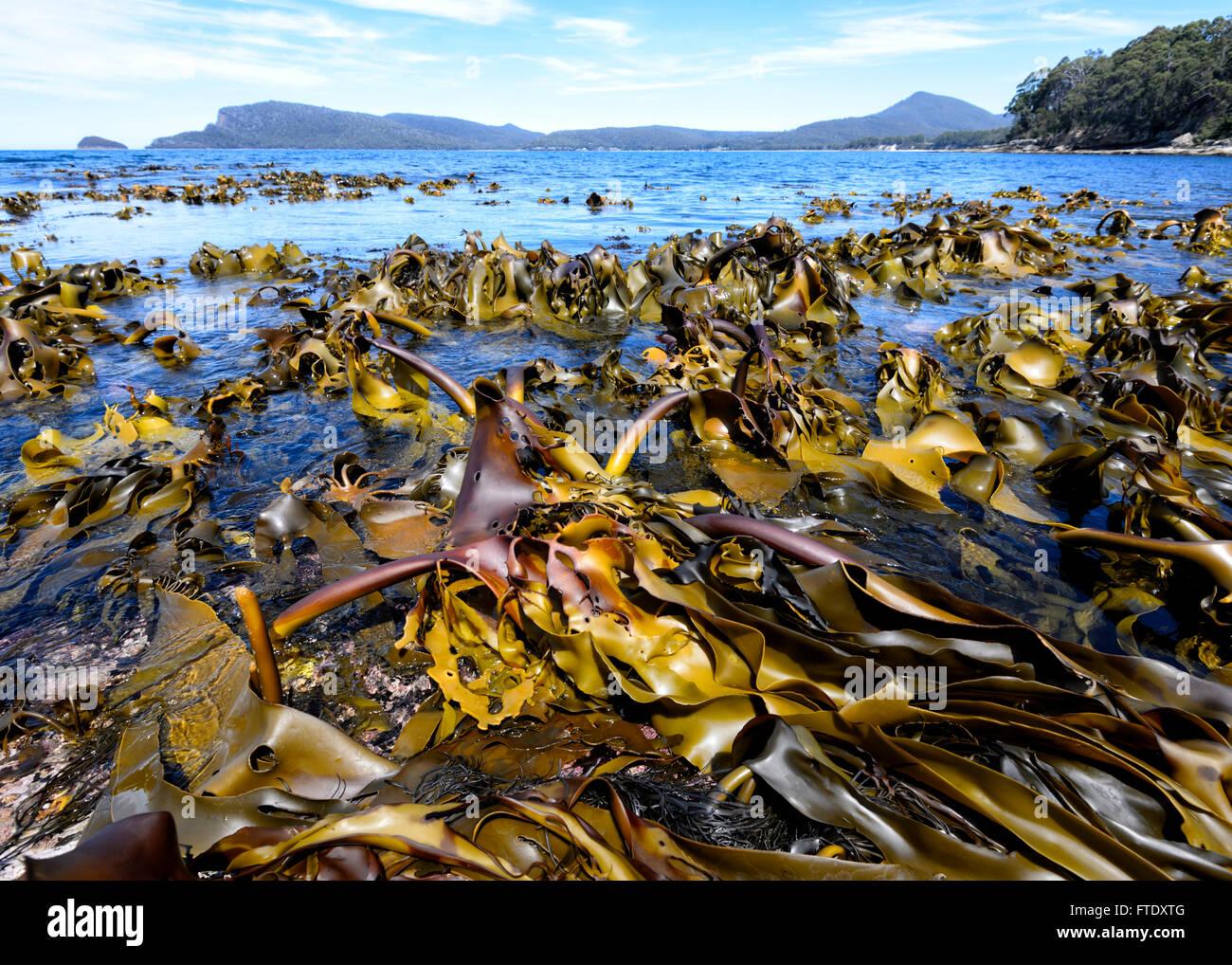 kelp-seaweeds-adventure-bay-bruny-island